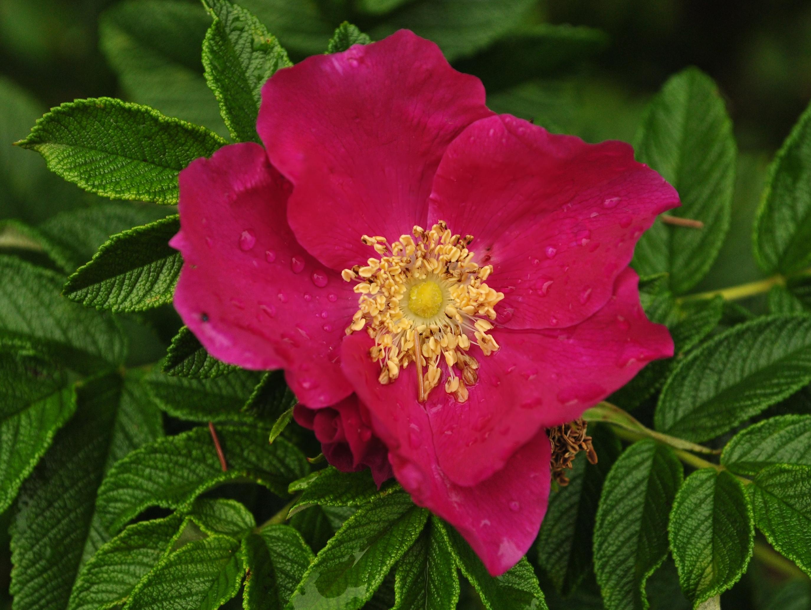 Avversità Delle Piante Coltivate difesa biologica delle rose | servizio ambiente giardini